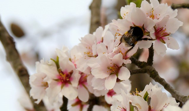 Honey bees' vital role in growing tasty almonds