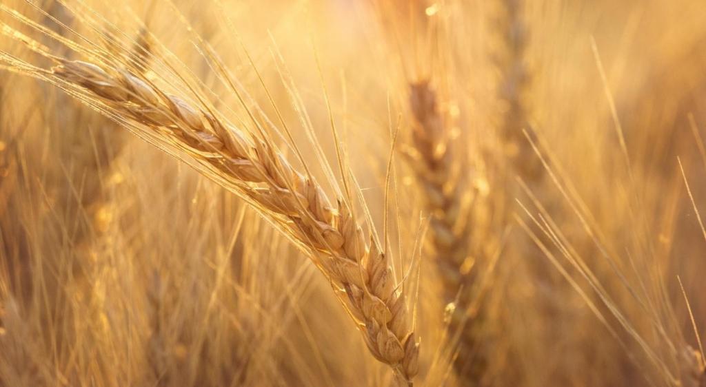 Wheat code finally cracked