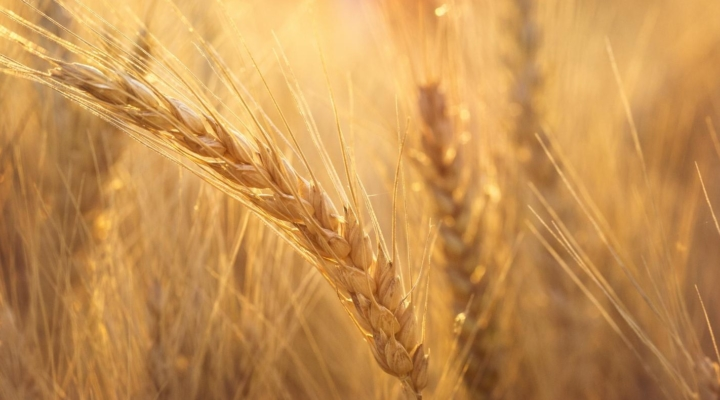 Wheat code finally cracked
