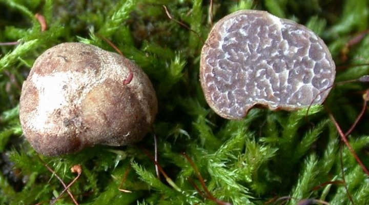 New truffle species discovered in Fla. orchards