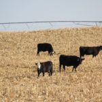 The University of Nebraska has conducted several years of cow-calf research examining and comparing the potential for different production systems in Nebraska. (Courtesy of UNL)