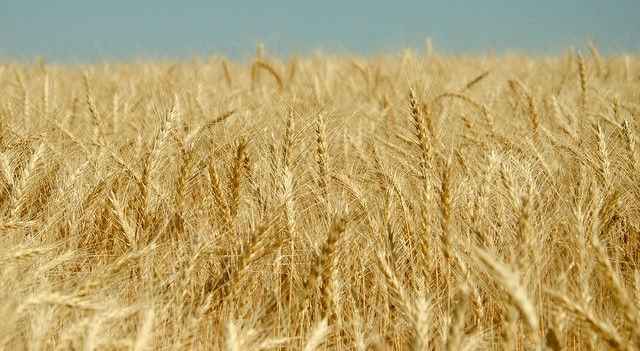 Researchers crack complete genome of wheat