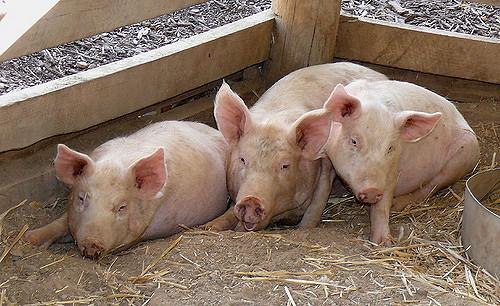 Romanian president blasts gov't on swine fever