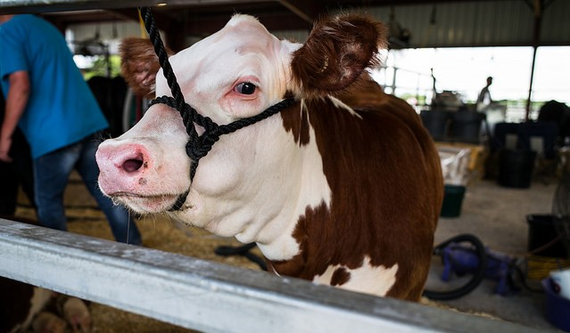 Great NYS Fair holds annual Beef Day, Aug. 28