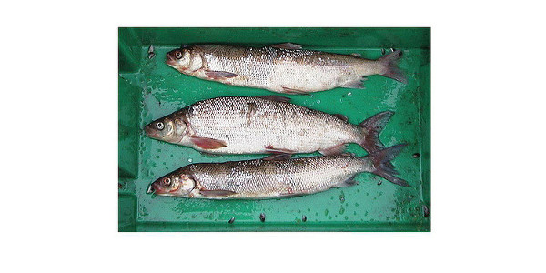 Whitefish from Lake Michigan. Note smaller body size of top and bottom fish. Photo from S. Pothoven. January 2009. (NOAA Great Lakes Environmental Research Laboratory via Flickr)