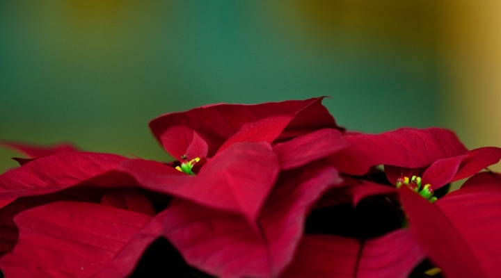 National Poinsettia Trials at University of Florida