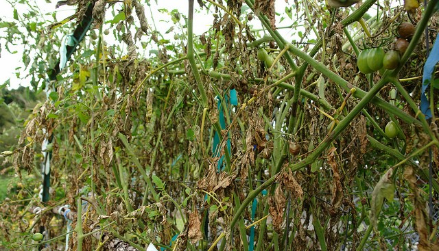Late blight detected in Genesee County