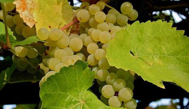 Germany begins earliest grape harvest amid heat