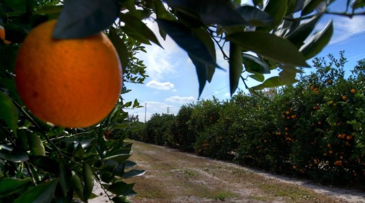 Irma, disease, lowers value of Florida citrus crop