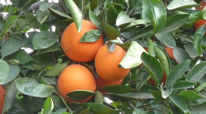 Study forecasts cost of regulations on citrus | Morning Ag Clips