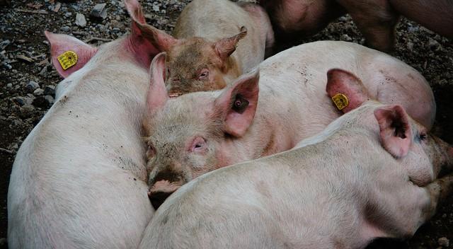 Pork-reliant China battling African swine fever