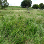 warm season grass