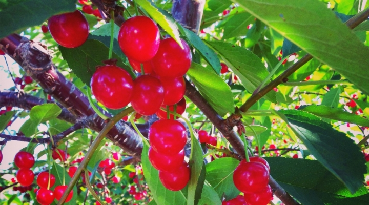 Growing population may threaten cherry production