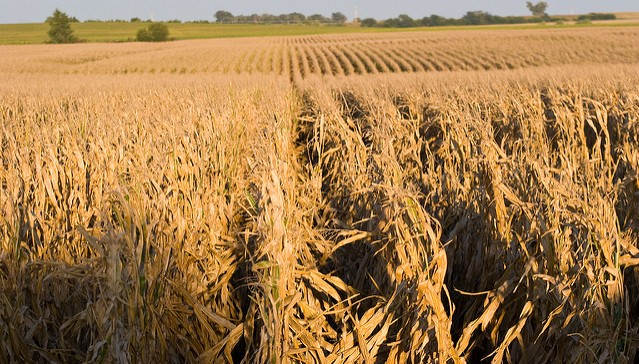 U.S. corn update and weather outlook