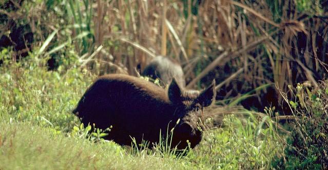 Wild pigs plow up yards