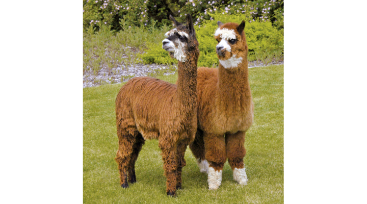 National Alpaca Farm Days, Sept. 29-30