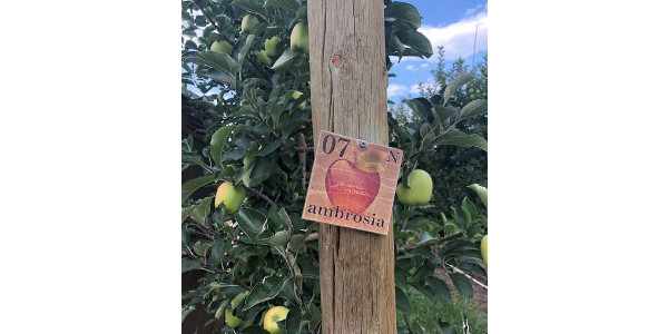 Considerations for growers interested in Ambrosia