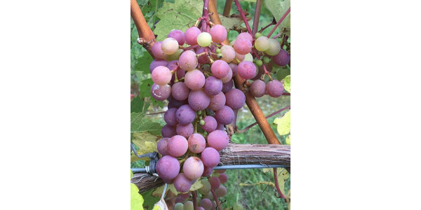 Symposium on new grape cultivars Aug. 29