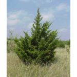 If you have Eastern Red Cedar (Juniperus virginiana) trees in your landscape you may have noticed seedlings growing in areas you did not plant them. (Courtesy of University of Minnesota Extension)