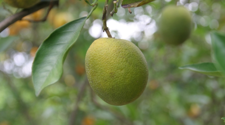 Plant hormone may help in citrus greening fight