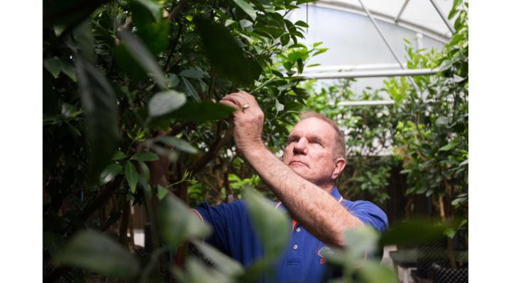 Varieties for Irma-damaged citrus replanting