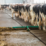 Rhankfully, managing manure for cow hygiene is more automated than it's ever been. (Courtesy of GEA)