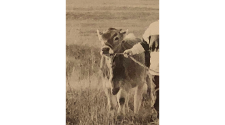 The Unruly Heifer