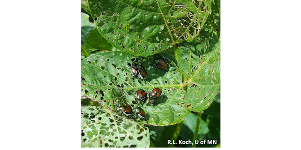 Image 1: Japanese beetles feeding on soybean leaves. (Courtesy of R.L. Koch, U of MN)