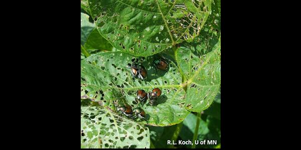Image 1: Japanese beetles feeding on soybean leaves. (Courtesy of R.L. Koch, U of MN)