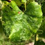 Photo 1. Powdery mildew leaf symptoms on Vignole grapes. (Photo taken Aug. 17, 2018, by Tim Miles, MSU)