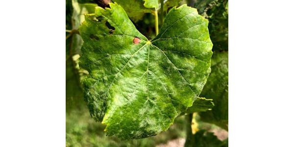 Powdery mildew fungicide resistance