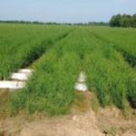 The latest developments and new technology in rice production will be highlighted at the Missouri Rice Council's (MRC) annual Rice Field Day Aug. 23 at the Missouri Rice Research Farm in Glennonville, Missouri. (Courtesy of Southeast Missouri State University)