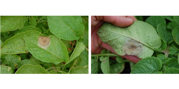 Figure 1. Potato late blight, water-soaked lesion on top surface of leaf (left). Figure 2. Potato late blight, sporulation on reverse side of affected leaf (right). (Photos by Dr. Amanda Gevens, UW-Madison)