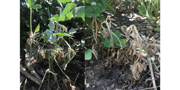 Figure 1. Soybean plants exhibiting signs of wilting (A) and necrosis (B) in fields in eastern Nebraska. (Courtesy of University of Nebraska-Lincoln)