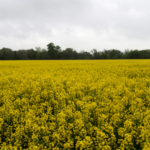 Kansas State University will present the 2018 Winter Canola Preplant School Aug. 28 in Wichita. (Courtesy of K-State Research and Extension)