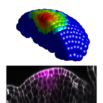 (ABOVE) A 3D computational simulation shows CLAVATA3 (CLV3) expression in a shoot apical meristem of Arabidopsis. The highest gradient is shown in red. (BELOW) The simulation is confirmed using confocal live imaging in an Arabidopsis shoot apical meristem, with the brightest purple signifying high CLV3 gradient. (Courtesy of Purdue University)