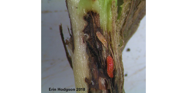 Gall midge in the stem of a soybean plant. The stem exhibits swelling when infected, turns brown and eventually falls over, killing the plant. These midges start out clear-colored but turn orange as they mature. (Courtesy of ISU Extension and Outreach)