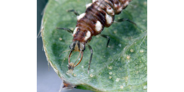 Reduce pesticide use to encourage predators like this lacewing larva to eat your spider mites. (Photo by L. Buss, U. Fla)