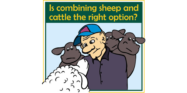 Is combining sheep and cattle the right option? (Courtesy of NDSU Extension)