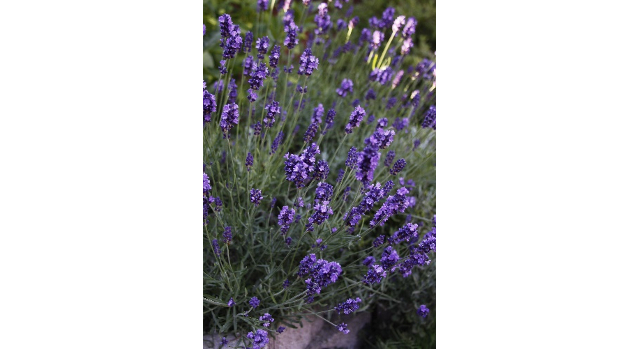 How to grow lavender in our climate and soils