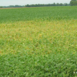 Sudden death syndrome in soybean. (Courtesy of University of Minnesota Extension)