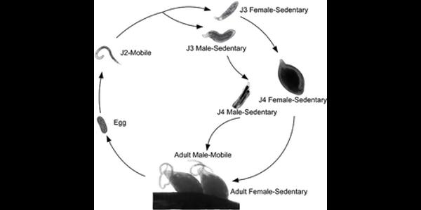 Soybean cyst nematode life cycle. (Courtesy of University of Illinois)