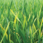 Yellow streaking and mosaic patterns on young leaves and stunted tillers are some of the first signs. (Courtesy of Kansas Wheat)