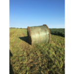 Using ditch hay to feed cattle is a common practice across the U.S. It provides livestock producers with a source of readily available forage which can be very useful particularly during feed shortages. (Courtesy of iGrow.org)