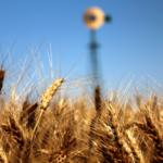 Kansas State University scientists, in collaboration with the International Wheat Genome Sequencing Consortium (IWGSC), published in the international journal Science a detailed description of the complete genome of bread wheat, the world's most widely-cultivated crop. (Courtesy of Kansas Wheat)