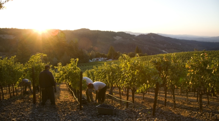 Napa Valley winegrape harvest update