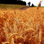 Wheat, a crop typically grown in cool climates, will be hardest hit by increases in crop loss from insects caused by a warming planet. (Courtesy of Keith Ewing / CC BY 2.0)