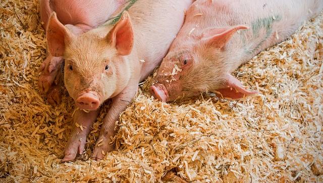 Swine fever virus confirmed in Japan