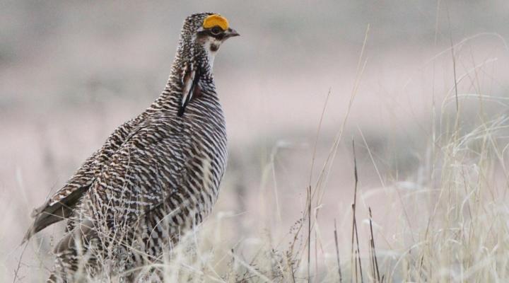 Efforts continue to save Attwater prairie chickens