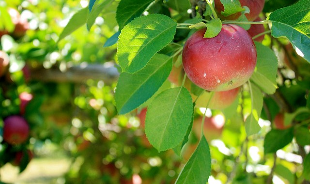 A history of Gala vs. Red Delicious apples